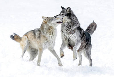 Photograph - Wolf Play Winter Style by Athena Mckinzie