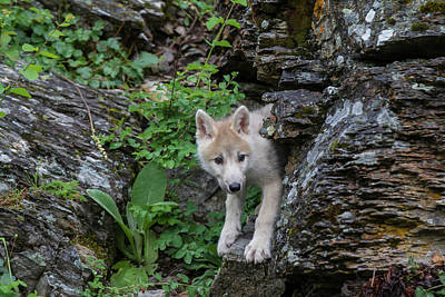 Photograph - Wolf Pup by Dee Carpenter