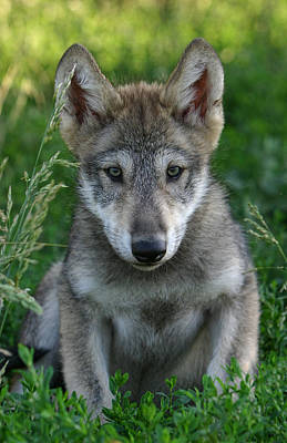 Photograph - Wolf Pup by Shari Jardina