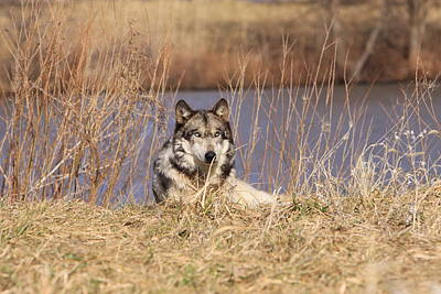 Photograph - Wolf Relaxing by Shari Jardina