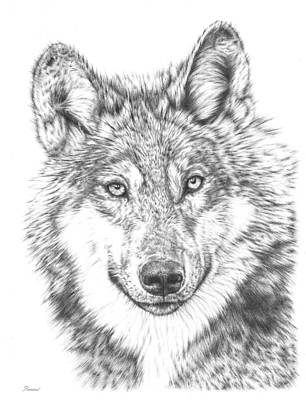 Animals Drawings - Wolf by Casey