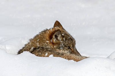 Photograph - Wolf Resting In The Snow by Arterra Picture Library