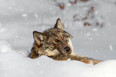 Photograph - Wolf Resting In Winter by Arterra Picture Library