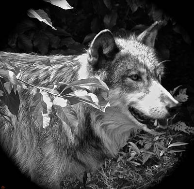 Wolf Run Art Print by Debra     Vatalaro