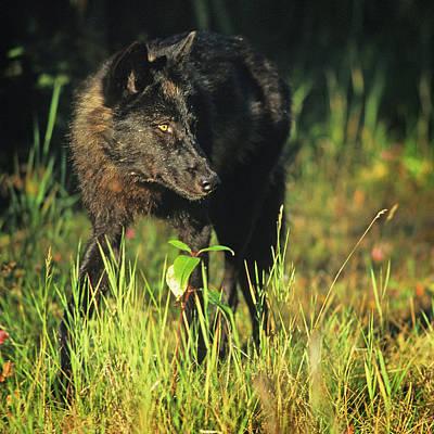 Photograph - Wolf by Scott Wheeler