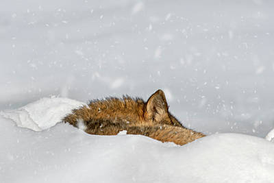 Photograph - Wolf Sleeping In The Snow by Arterra Picture Library
