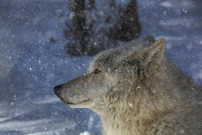 Photograph - Wolf Snowfall by Jeff Shumaker