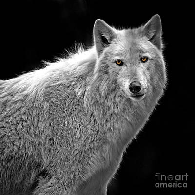 Photograph - Wolf by Sonya Lang
