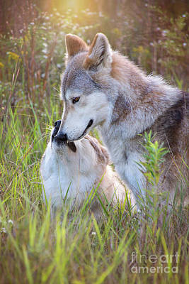 Photograph - Wolf Soul Mates by Sharon McConnell