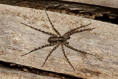 Photograph - Wolf Spider by Jouko Mikkola