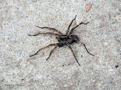 Photograph - Wolf Spider by Kimmary MacLean