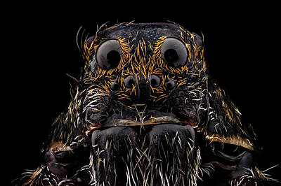 Photograph - Wolf Spider by Mihai Andritoiu
