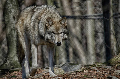 Photograph - Wolf Stalking by Crystal Wightman