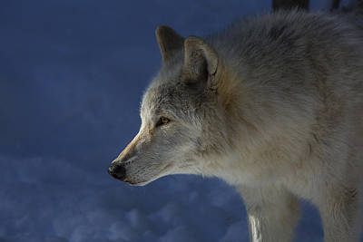 Photograph - Wolf Stare by Jeff Shumaker