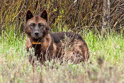 Photograph - Wolf by Steve Stuller