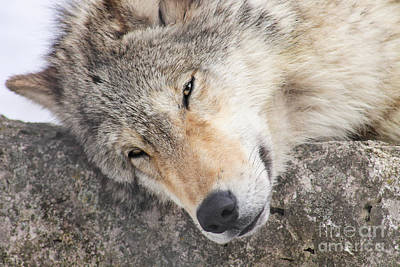 Nikki Vig Royalty-Free and Rights-Managed Images - Wolf Sunning Himself in Winter by Nikki Vig