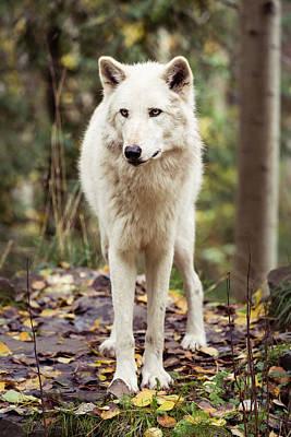 Photograph - Wolf by Toren Lehrmann