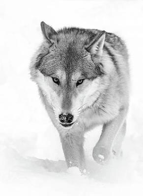 Photograph - Wolf Trekking In The Snow by Athena Mckinzie