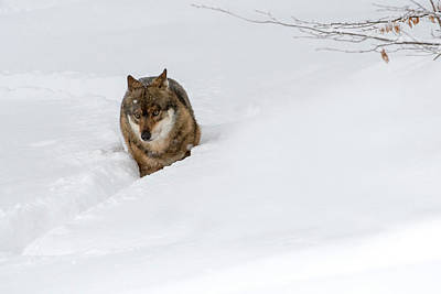 Photograph - Wolf Walking In The Snow by Arterra Picture Library