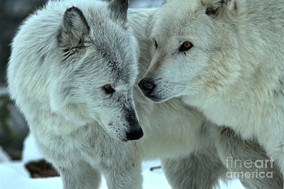 Photograph - Wolf Whispers by Adam Jewell