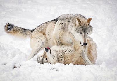 Photograph - Wolf Winter Wonderland by Athena Mckinzie