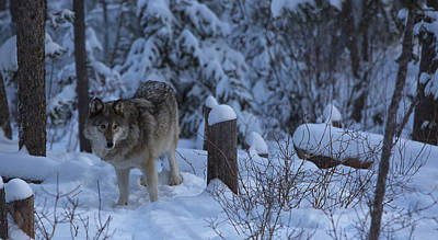 Photograph - Wolf Wonderland by Jeff Shumaker