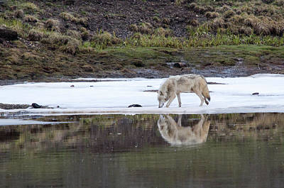 Photograph - Wolflection by Steve Stuller