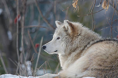 Wolve Photograph - Wolve by Gina Levesque