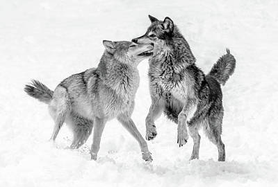 Photograph - Wolves Bw Xv by Athena Mckinzie