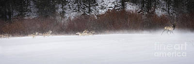Wolf Photograph - Wolves Chasing Elk by Wildlife Fine Art