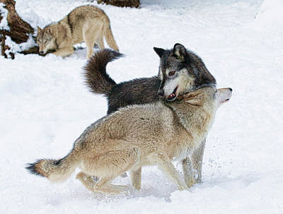 Photograph - Wolves In Cold Winter by Steve McKinzie
