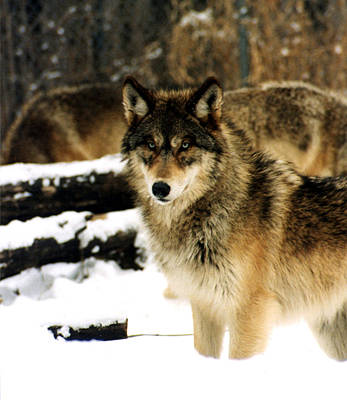 Wolve Photograph - Wolves In The Snow by PhotographyAssociates