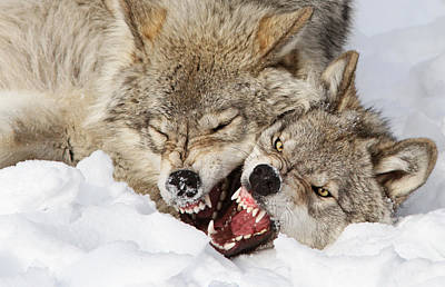 Winter Photograph - Wolves Rules by Mircea Costina