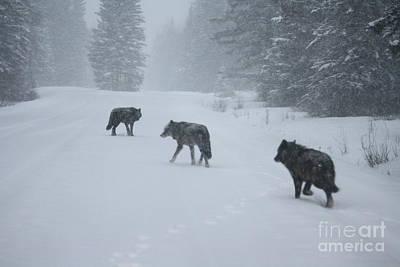 Photograph - Wolves by Wilko Van de Kamp
