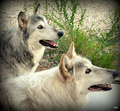 Photograph - wolves XV by Diane montana Jansson