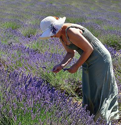 Woman Collects Lavender Art Print by Valter Giumetti