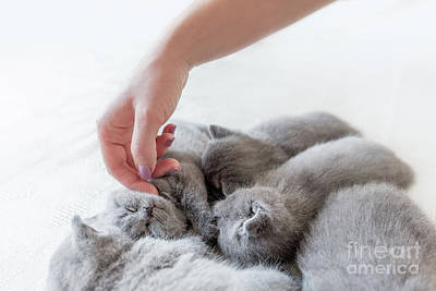 Photograph - Woman's Hand Petting A Cluster Of Cats. British Shorthair. by Michal Bednarek