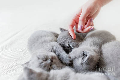 Photograph - Woman's Hand Touching One Of Sleeping Cats. British Shorthair. by Michal Bednarek