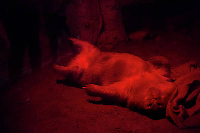 Photograph - Wombat Under Red Light by Miroslava Jurcik