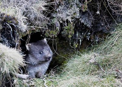 Photograph - Wombat Joey by Nicholas Blackwell