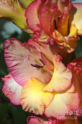 Photograph - Wonderful Gladiolus  by Joy Watson