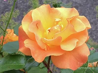 Photograph - Wonderful Rose by Eva-Maria Di Bella