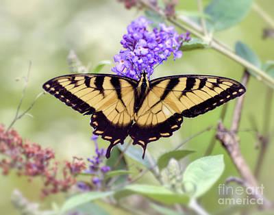Photograph - Wonderful Wings - Eastern Tiger Swallowtail Butterfly by Kerri Farley