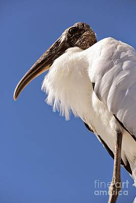 Wonderful Wood Stork Print by Carol Groenen