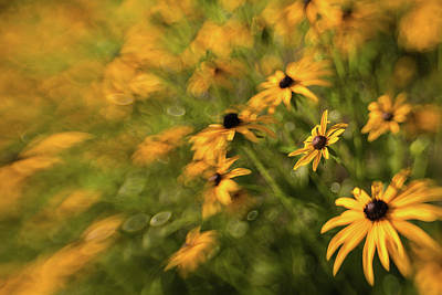 Photograph - Wonderfully Arrayed / Black-eyed Susans by Kim Carpentier