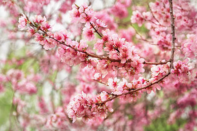 Photograph - Wonderfully Delicate Pink Cherry Blossoms At Canberra's Floriade by Daniela Constantinescu