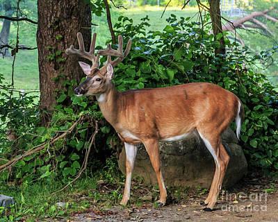 Photograph - Wondering Deer II by Gene Berkenbile