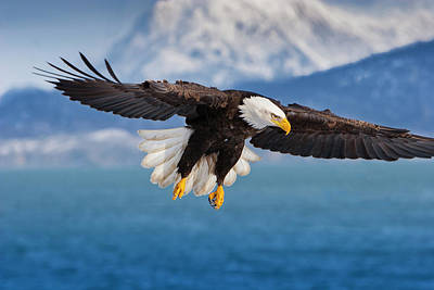 Photograph - Wonders Of Alaska- Bald Eagle  by Mark Miller