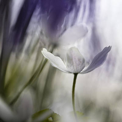 Anemone Nemorosa Photograph - Wood Anemone Abstract by Dirk Ercken