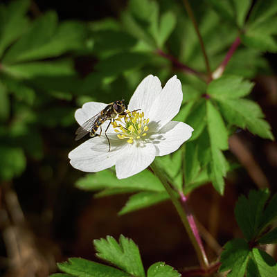 Photograph - Wood Anemone And A Hoverfly by Jouko Lehto